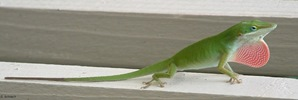 The Amazing Anole