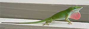 anole2-300